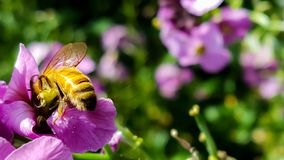 Работая пчела собирая цветень в саде страны от розовой подачи Стоковые Фото