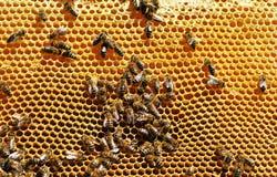 Работая пчелы Стоковое фото RF