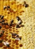 Работая пчелы Стоковое Изображение RF
