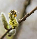 Работая пчела с цветнем Стоковые Фото