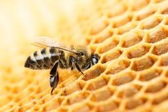 Работая пчела стоковая фотография rf