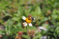 Работая пчела Стоковое Фото
