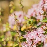 Работая пчела Стоковая Фотография