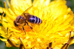 Работая пчела Стоковые Фотографии RF