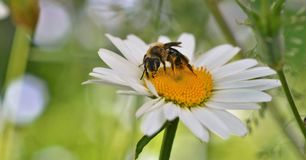 Работая пчела 4 Стоковая Фотография RF