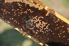 Работая пчелы на деревянных рамках Стоковая Фотография