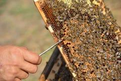 Работая пчелы на деревянных рамках Стоковое фото RF