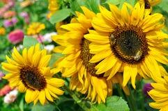 Работая пчелы на зацветая солнцецвете Стоковое Изображение