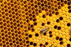 Работая пчелы на клетках меда Стоковое Изображение