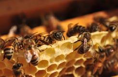 Работая пчелы Стоковое Фото