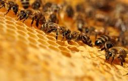 Работая пчелы Стоковая Фотография RF