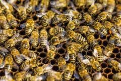 Работая пчелы Стоковое Изображение