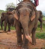 Работая слоны Стоковая Фотография