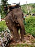 Работая слоны Стоковое фото RF