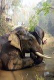 Работая слон, Мьянма стоковые фотографии rf
