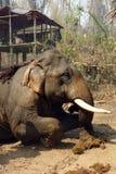 Работая слон, Мьянма стоковые изображения