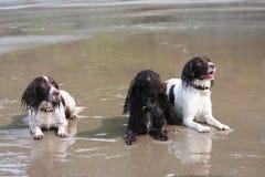 2 работая тип английский Спрингер и spaniel кокерспаниеля на пляже Стоковое Изображение