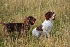 2 работая spaniels в поле травы Стоковая Фотография