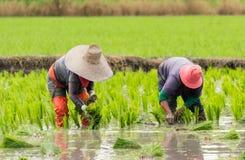 Работа в поле риса Стоковое фото RF