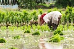 Работа в поле риса Стоковая Фотография RF