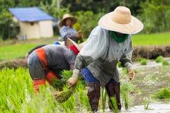 Работа в поле риса Стоковая Фотография