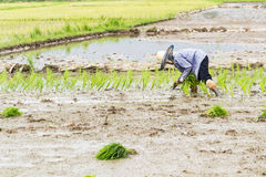 Работа в поле риса Стоковые Фото