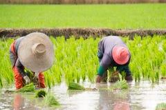 Работа в поле риса Стоковое Фото