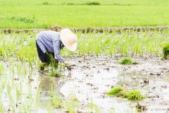 Работа в поле риса Стоковое Изображение