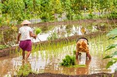 Работа в полях риса Стоковые Фото
