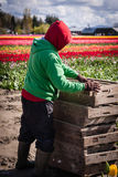 Работа в полях тюльпана Стоковое Изображение