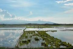 Работа в рисовых полях Стоковое Фото