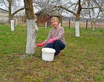 Работа в саде, белить весны фруктовых деревьев стоковое фото