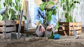 Работа женщины в огороде связывает завод сладкого перца к бамбуковой ручке так, что она сможет вырасти, около деревянных коробок  сток-видео