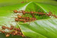 работа команды муравеев красная Стоковое Фото