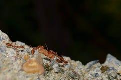 Работа команды - муравеи ткача Стоковые Фото