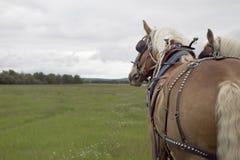 работа лошадей 2 harnes поля Стоковая Фотография