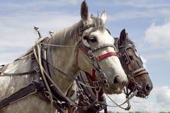 работа лошадей 2 harnes Стоковое фото RF