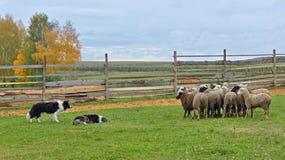 Работа 2 овчарок стоковое изображение rf