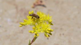 Работа пчелы на цветке сток-видео