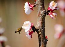 работа пчелы Стоковые Изображения RF