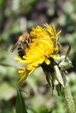 работа пчелы Стоковое Фото