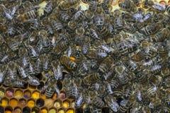 Работа пчел на сотах Стоковые Изображения