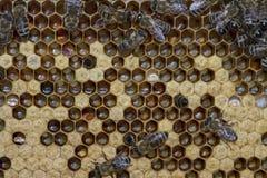 Работа пчел на сотах Стоковое Изображение