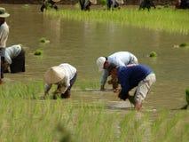Работа фермеров на поле риса Стоковое Изображение RF