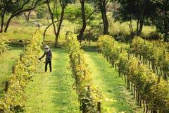 Работа людей на винограднике Стоковое Изображение RF