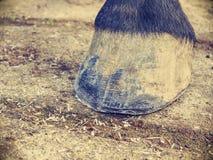 Работа Farrier Ясное копыто после использования терпуга копыта, ножа, плоскогубцев копыта стоковая фотография rf