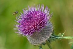 Honeybee на thistle Стоковое Изображение