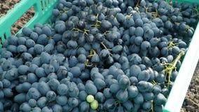 Работники выбирают черные виноградины видеоматериал
