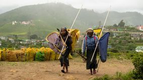 Работники голубой плантации чая стоковые фотографии rf