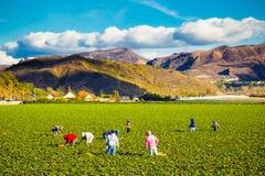 Работники земледелия поля клубники Стоковое фото RF